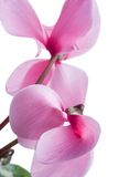 cyclamen Schöne Blume auf hellem Hintergrund Stockbilder