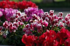 Cyclamen in vase of different colors Stock Photo