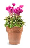 Cyclamen in vase Royalty Free Stock Photography