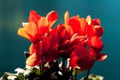 Cyclamen vermelho fotografia de stock royalty free