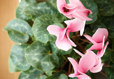 Cyclamen view from above. Blooming Cyclamen. Royalty Free Stock Photo