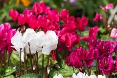 cyclamen vita blommor Arkivfoton