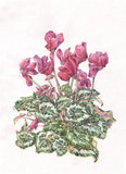 Cyclamen watercolor painting Stock Photos