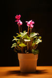 Cyclamen in a white pot Royalty Free Stock Image