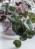 Cyclamen in in a white vase stock images