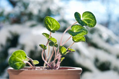 Cyclamen with winter background. Growing cyclamen with winter background royalty free stock images
