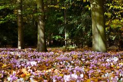 Cyclamen in woodland. Autumn woodland with clusters of purple cyclamen under trees Stock Photography