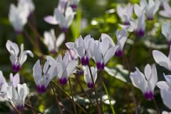 Cyclamens Stock Photos