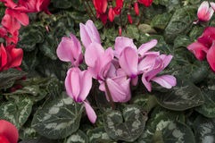 cyclamens Fotos de Stock