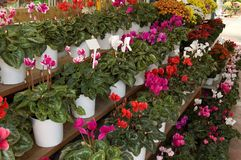 Cyclamens. On shelves at the florist's Stock Photography