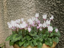 cyclamens Photographie stock