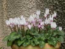 cyclamens Stock Afbeelding