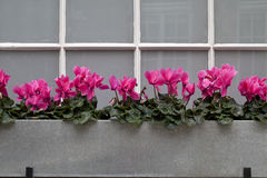 Cyclamens All in a Row. A galvanised metal planter blends well with the grey on the windows to make a silvery frame for a row of bright pink cyclamens. The Stock Images