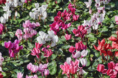 Cyclamens bed Stock Photography