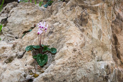 Cyclamens bredvid kibbutzer Hephzibah Arkivfoton