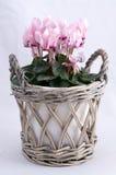 Cyclamens cor-de-rosa Fotos de Stock Royalty Free
