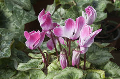 Cyclamens Stock Image
