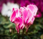 Cyclamens fleurissants colorés photos stock