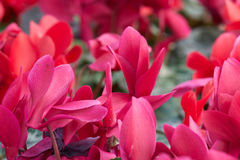 Cyclamens in the greenhouse in bloom. In spring Stock Photos
