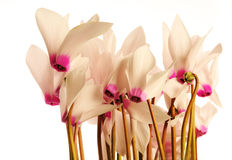 Cyclamens. The group of pink cyclamens the white background Royalty Free Stock Photos