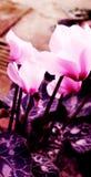 cyclamens ostrości miękka część Obraz Royalty Free