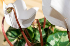Cyclamens pączkują - białego kwiatu pączek obraz royalty free