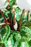 Cyclamens pączkują - białego kwiatu pączek zdjęcie stock