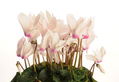 Cyclamens. Pink cyclamens on the white background Royalty Free Stock Photos