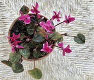 Cyclamens in a pot. Pink cyclamens in a pot, top view Stock Photos