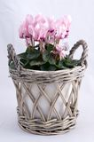 Cyclamens rose Photos libres de droits