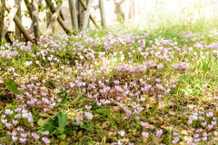 Cyclamens in Sardinia. In slightly lit undergrowth. High blurs the edges Royalty Free Stock Images