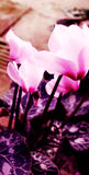 Cyclamens in soft focus. A romantic photograph of some pink cyclamen flowers in soft focus for mood. Vertical color picture.  Spring cyclamens with soft Royalty Free Stock Image