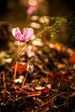 Cyclamin för lösa rosa färger royaltyfri foto