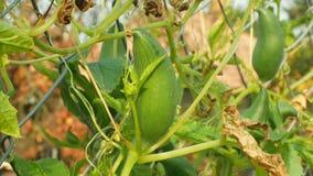 Cyclanthera pedata拖鞋金瓜或充塞黄瓜是为它的未成熟的水果庄稼和叶子增长的菜, a 股票录像