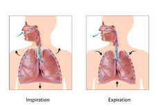 Cycle of breathing. Inspiration and expiration, eps10 Stock Images