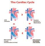 Cycle cardiaque de coeur de coeur sur le fond blanc d'isolement graphique d'infos d'éducation de cercle de coeur illustration libre de droits