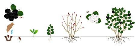 Cycle d'un melanocarpa d'Aronia de chokeberry de noir de buisson d'isolement sur le fond blanc illustration stock