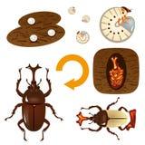 Cycle de croissance du scarabée Photo libre de droits