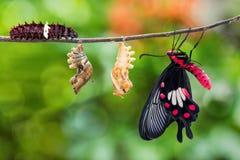 Cycle de vie commun de papillon d'aristolochiae de Rose Pachliopta photo stock