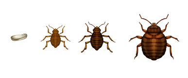 Cycle de vie d'insecte de lit - lectularius de Cimex Photographie stock libre de droits