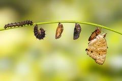 Cycle de vie d'orithya bleu femelle Linn de Junonia de papillon de pensée Photos stock