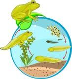 Cycle de vie de grenouille Photographie stock libre de droits