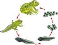 Cycle de vie de grenouille Photo stock