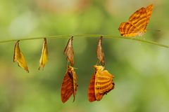 Cycle de vie de hangin commun de papillon de risa de Chersonesia de maplet Photo libre de droits