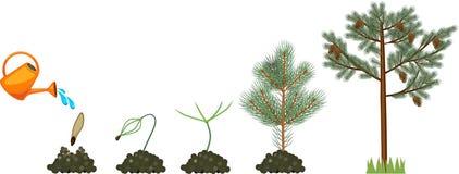 Cycle de vie de pin Plantez le growin de la graine pour mûrir le pin avec des cônes illustration libre de droits