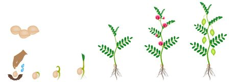 Cycle of growth of a chickpea plant isolated on a white background. Cycle of growth of a chickpea plant isolated on a white background, beautiful illustration Royalty Free Stock Image