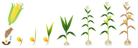 Cycle of growth of a corn plant on a white background. stock illustration
