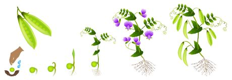 Cycle of growth of a pea plant on a white background. Cycle of growth of a pea plant on a white background, beautiful illustration Royalty Free Stock Images