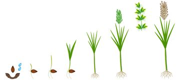 Cycle of growth of a sugarcane plant on a white background. stock illustration