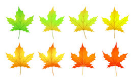 cycle of a maple leaf isolated on white background in  Royalty Free Stock Photos